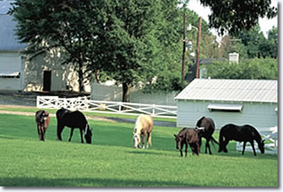 Horses grazing the pasture at Graceland. From left: Mare Ingram, Ebony's Double, Rising Sun, Moriah, Memphis, and Ebony's Secret Threat, the only one of these horses still alive at Graceland.